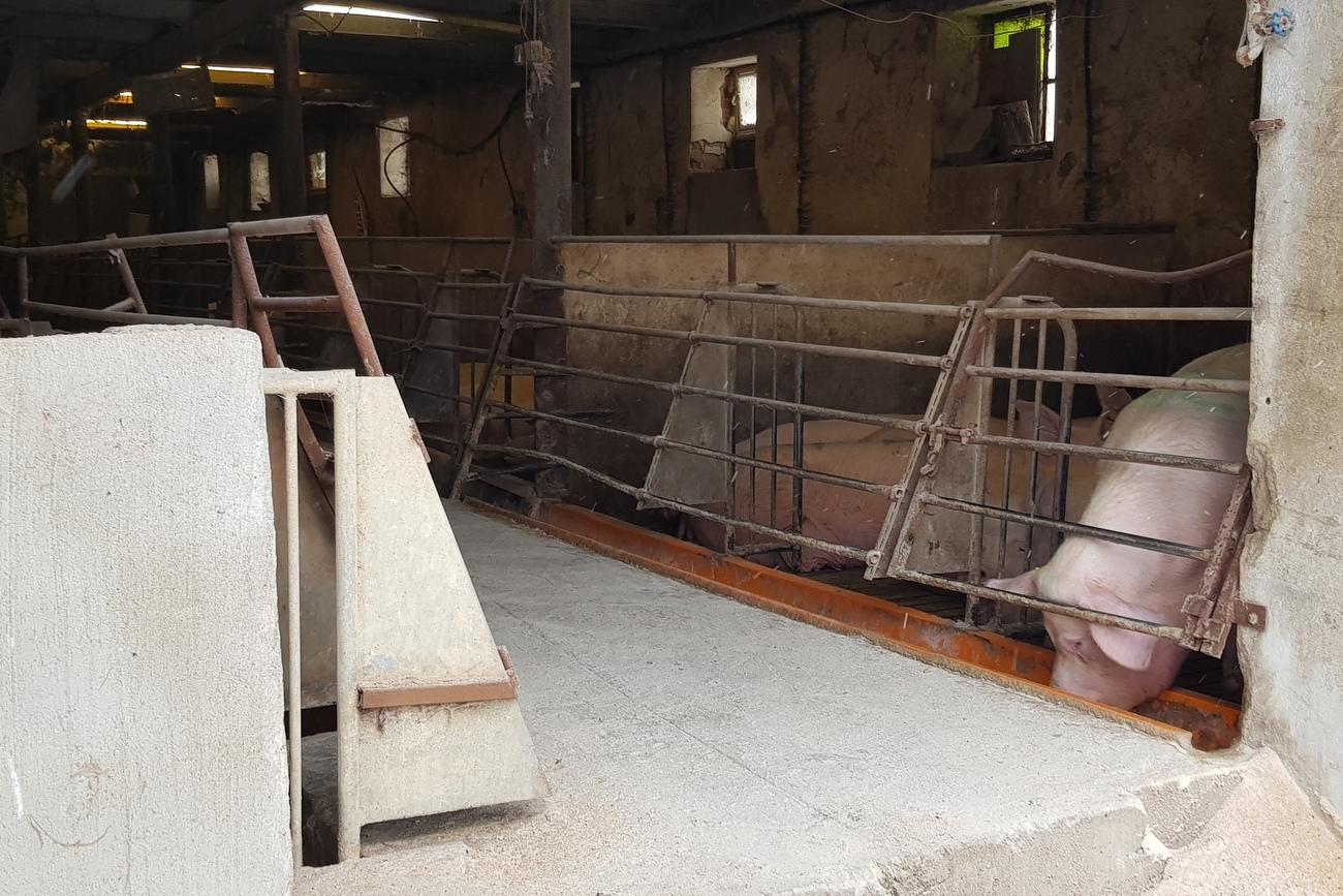 Kto próbuje podrzucić ASF rolnikowi z Kolnicy Hodowca dwukrotnie znalazł szczątki dzików na swojej fermie